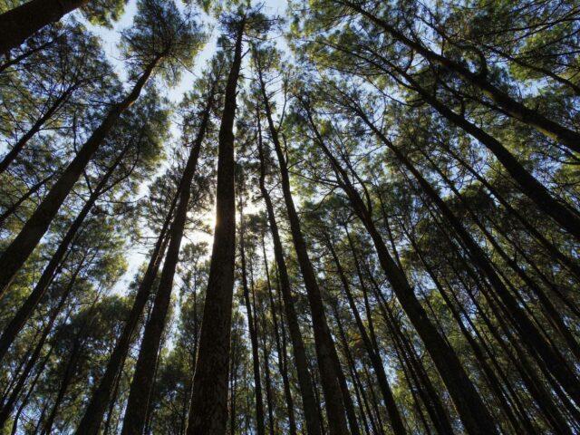 Imogiri Pine Forest