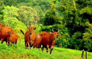 Feeding Ground Sadengan Alas Purwo National Park