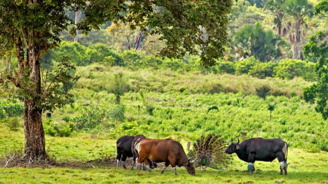Animals in sadengan alas purwo