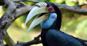 Wreathed Hornbill in Bali Bird Park
