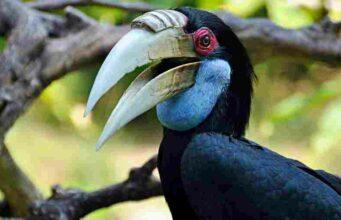 Wreathed Hornbill in Bali Bird Park
