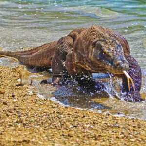 Komodo Island, Home for the largest living lizard in Indonesia