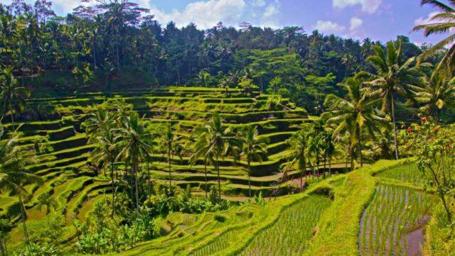Ubud Local Farming