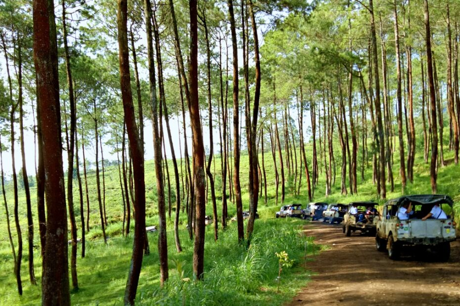cikole pine forest