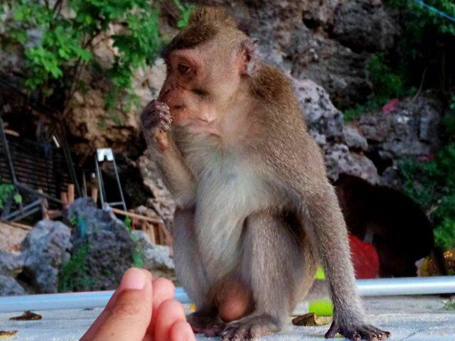 tame monkey