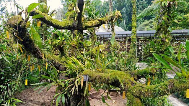 bali botanic garden orchid house