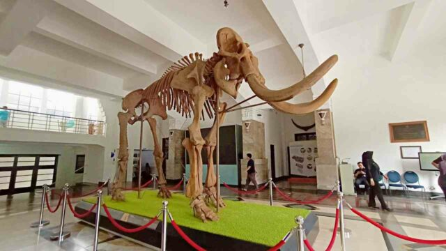 ancient elephant fossil geology museum bandung