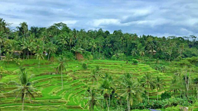 cekung rice terrace