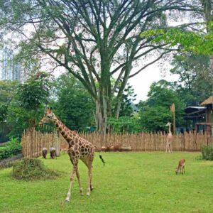 giraffe at bandung zoo